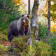 Young european brown bear in the authumn forest - PhotoDune Item for Sale