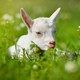 White little goat resting on green grass with daisy flowers on a sunny day - PhotoDune Item for Sale