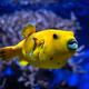 Yellow golden puffer guineafowl puffer fish underwater - PhotoDune Item for Sale
