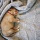 Cute puppy sleeping on blanket - PhotoDune Item for Sale