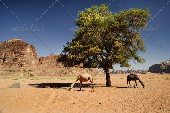 Camels - Stock Photo - Images