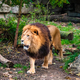 Lion in jungle forest in nature - PhotoDune Item for Sale