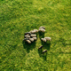 Aerial view of grazing sheep flock on spring field - PhotoDune Item for Sale