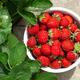 Strawberry bowl in strawberry garden - PhotoDune Item for Sale