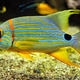 Sailfin snapper Symphorichthys spilurus blue-lined sea bream fish underwater in sea - PhotoDune Item for Sale