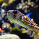 Long-spine porcupinefish underwater in sea - PhotoDune Item for Sale