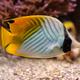 Threadfin butterflyfish Chaetodon auriga fish underwater in sea - PhotoDune Item for Sale