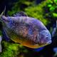 Red-bellied piranha red piranha - PhotoDune Item for Sale
