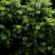 Fir tree branch close up - PhotoDune Item for Sale