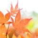 Japanese maple tree leaves background - PhotoDune Item for Sale