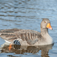 goose on a lake - PhotoDune Item for Sale