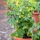 Young Green Tomatoes in a Pot - PhotoDune Item for Sale