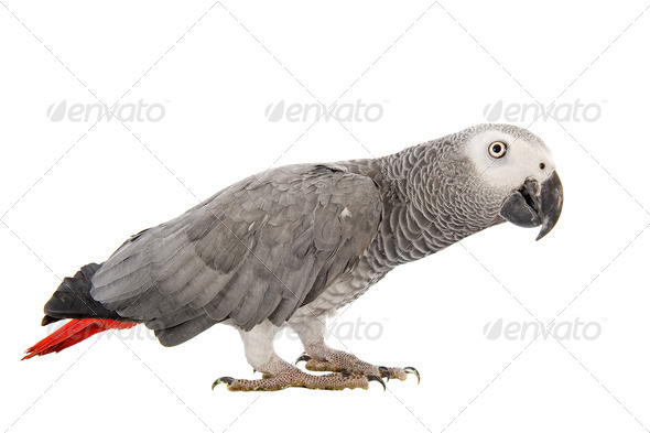 African Grey Parrot - Stock Photo - Images