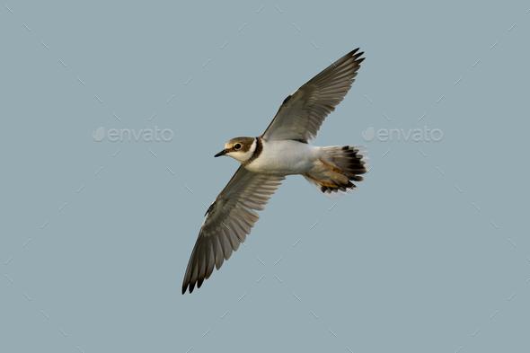 Little ringed plover (Charadrius dubius) - Stock Photo - Images