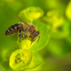 Bee collecting nectar on a flower blossom - PhotoDune Item for Sale