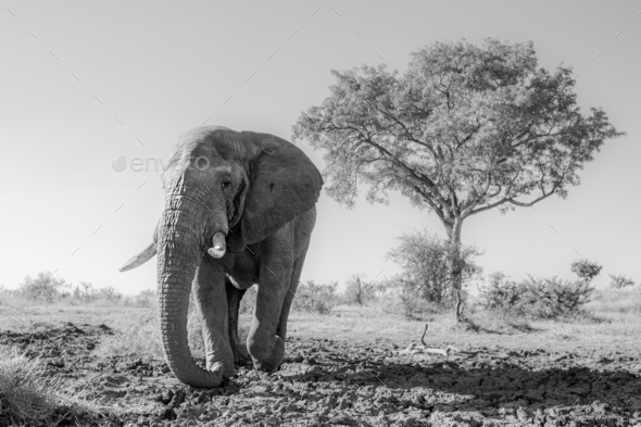 An elephant bull, Loxodonta africana, walks across drief mud, in black and white - Stock Photo - Images
