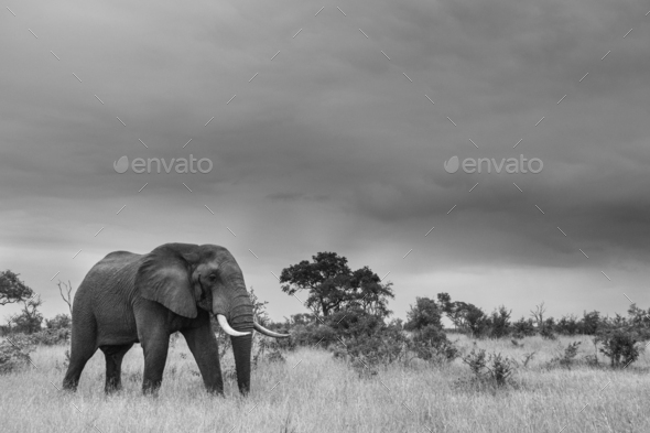 An elephant, Loxodonta africana, walks through a clearing, in black and white - Stock Photo - Images