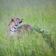 A leopard, Panthera pardus, stands in tall green grass, looking up - PhotoDune Item for Sale