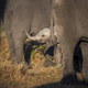 An elephant calf, Loxodonta africana, raises its trunk to its mother - PhotoDune Item for Sale