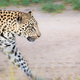 A leopard, Panthera pardus, walks on a dirt road - PhotoDune Item for Sale