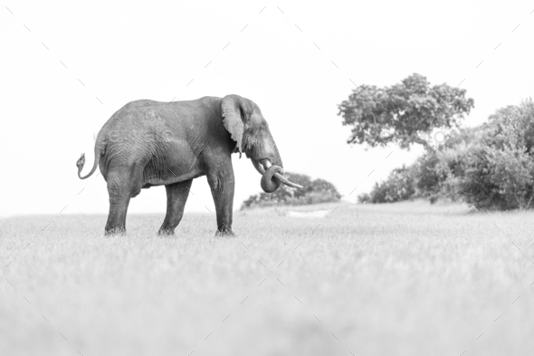An elephant, Loxodonta africana, walks in a clearing, in black and white - Stock Photo - Images