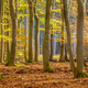 Beech trees in hazy autumn forest - PhotoDune Item for Sale