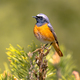 Common redstart perched on branch of tree - PhotoDune Item for Sale