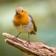 Red Robin bird in ecological garden - PhotoDune Item for Sale