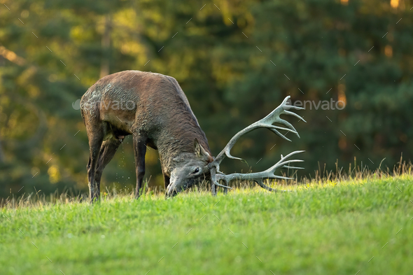 Red deer marking territory with antlers on meadow in rutting season - Stock Photo - Images