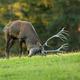Red deer marking territory with antlers on meadow in rutting season - PhotoDune Item for Sale