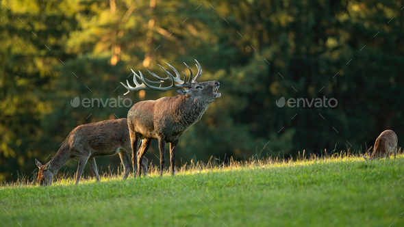 Red deer stag roaring on grassland in sunny rutting season - Stock Photo - Images