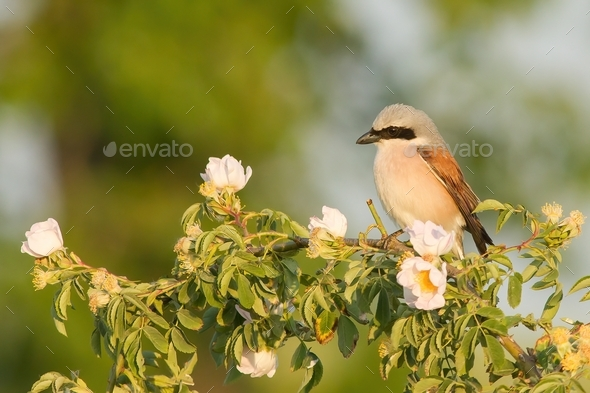 Little great grey shrike sitting on branch with blooming flowers - Stock Photo - Images