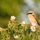 Little great grey shrike sitting on branch with blooming flowers - PhotoDune Item for Sale