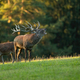 Red deer stag roaring on grassland in sunny rutting season - PhotoDune Item for Sale