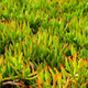 Ice plants covering the entire frame - PhotoDune Item for Sale