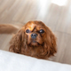 Dog begging to jump on bed - PhotoDune Item for Sale