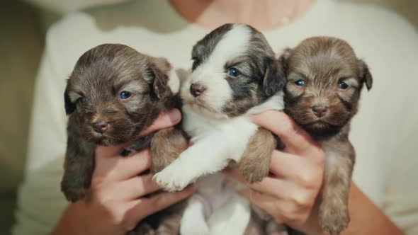 The Owner Is Holding Three Cute Little Puppies Favorite Pets And
