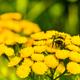 Honeybee on yellow flower in the summer meadow, selective focus - PhotoDune Item for Sale