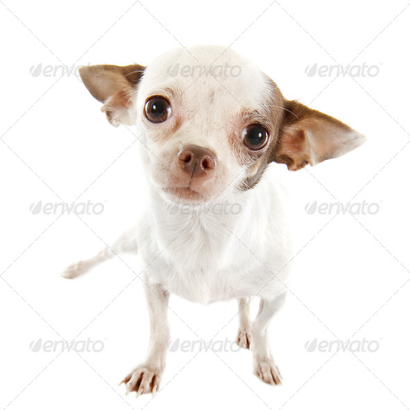 puppy chihuahua - Stock Photo - Images