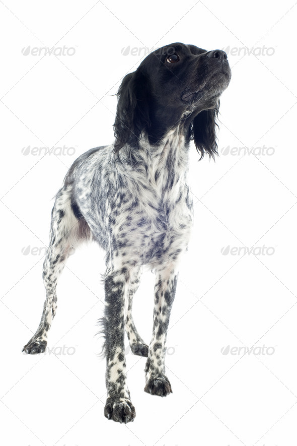 brittany spaniel - Stock Photo - Images