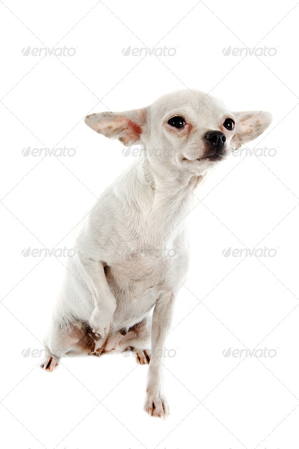 white chihuahua - Stock Photo - Images