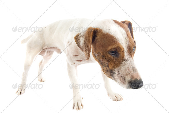 wounded jack russel terrier - Stock Photo - Images