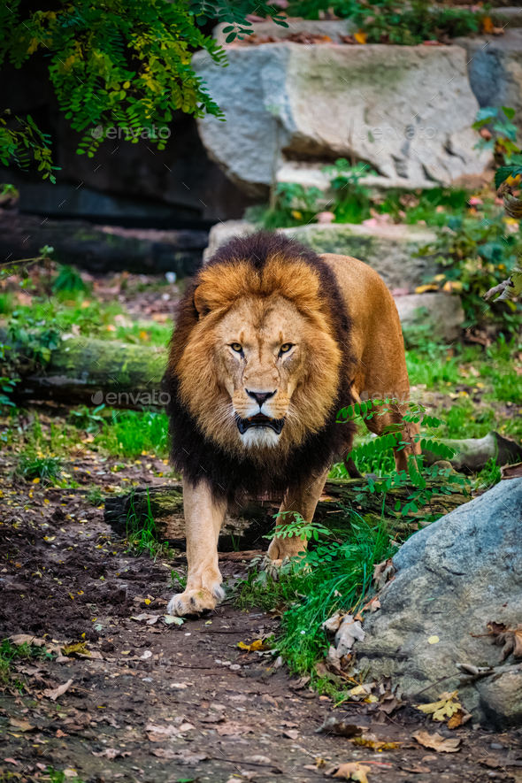 Lion in jungle forest in nature - Stock Photo - Images