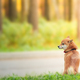 Shiba Inu dog walking outdoors in the park - PhotoDune Item for Sale