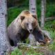 Wild Brown Bear in the summer forest. Animal in natural habitat. Wildlife scene - PhotoDune Item for Sale