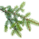 Spruce branch on white background isolate - PhotoDune Item for Sale
