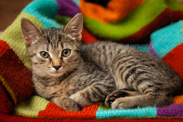 Young gray striped kitten lies on a colorful textile background - Stock Photo - Images