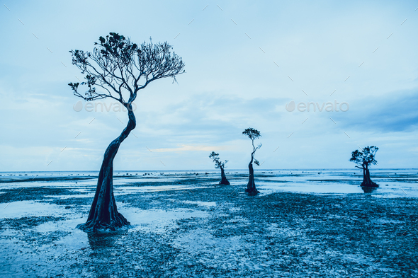 Graceful silhouettes of the mangrove trees. Sumba - Stock Photo - Images