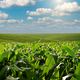 Green field of young maize stalks under blue sky in Ukraine - PhotoDune Item for Sale