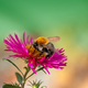 Bee collecting nectar at a pink aster blossom - PhotoDune Item for Sale